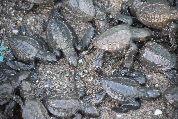 V-Festival-uniendo-esfuerzo-por-las-tortugas-marinas-Nicaragua