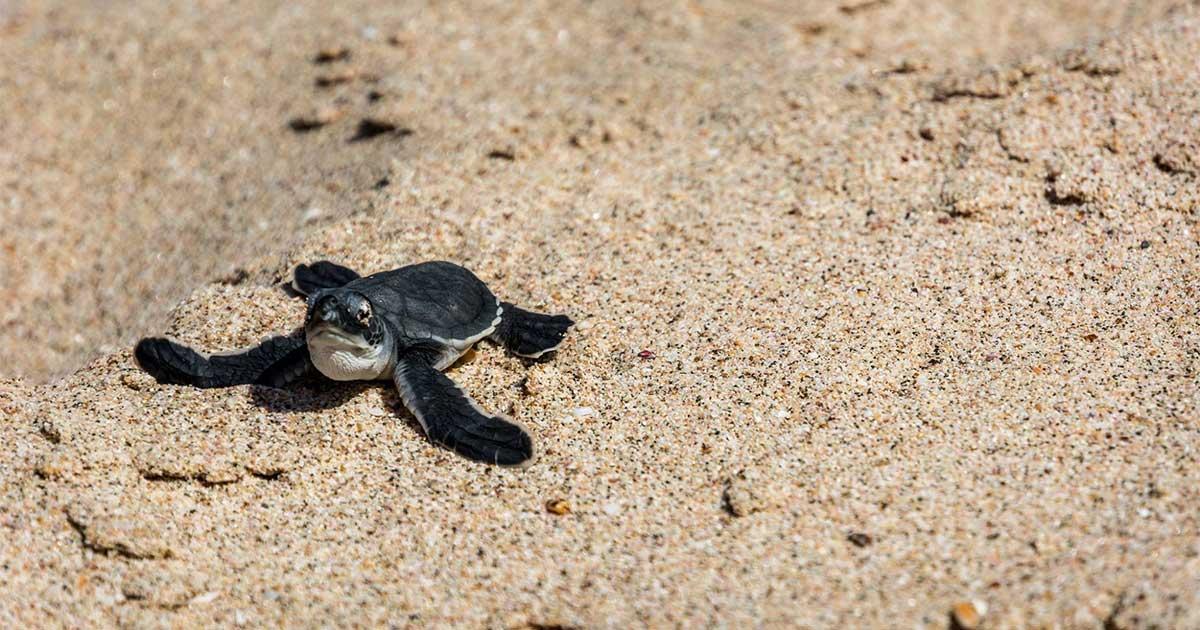 Nicaragua-proteje-la-vida-marina--tortuga